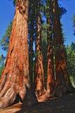 gigantyczni drzewa Fotografia Royalty Free