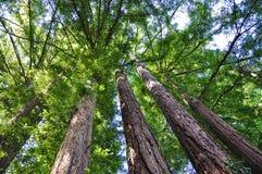 gigantyczni drzewa zdjęcie stock