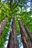 gigantyczni drzewa zdjęcia royalty free