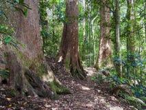 Gigantyczni Lasowi drzewa w Lamington, Queensland, Australia Zdjęcia Royalty Free