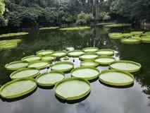 gigantyczni liście overlord lotos zdjęcia stock