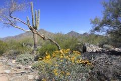 Gigantyczni Saguaro koloru żółtego i kaktusa kwiaty Zdjęcia Royalty Free