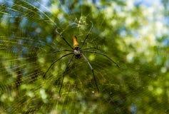 Gigantyczni złoci okręgu tkacza pająka Nephila pilipes lub typowo zakładamy w Azja i Australia, zdjęcia royalty free