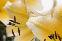 Gigantyczny Żółty Lilly liść Obrazy Royalty Free