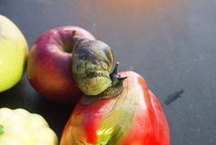 Gigantyczny ślimaczek czołgać się od Apple i je słodkiego pieprzu z banią obraz royalty free