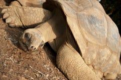 gigantyczny żółw Zdjęcia Royalty Free