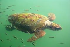 gigantyczny żółw Obrazy Stock