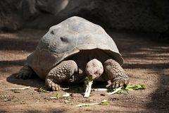 Gigantyczny żółw je zielenie obraz stock