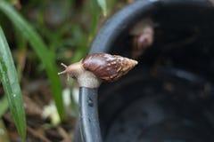 Gigantyczny Afrykański ślimaczek na drodze polnej Obrazy Stock