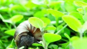 Gigantyczny Afrykański Gruntowy ślimaczek zbiory wideo