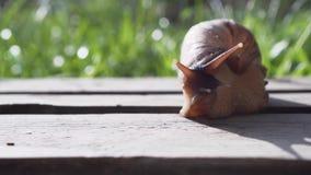 Gigantyczny Afrykański Gruntowy ślimaczek Achatina zbiory
