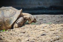 Gigantyczny afrykanin pobudzający tortoise je (Centrochelys sulcata) Obrazy Royalty Free