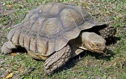 gigantyczny aldabra (1) tortoise Zdjęcie Stock