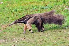 Gigantyczny Anteater w drodze Obraz Stock