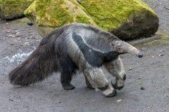 Gigantyczny anteater z mechatymi kamieniami w tle obraz stock