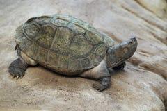 Gigantyczny azjatykci stawowy żółw Obrazy Royalty Free