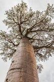 Gigantyczny baobabu drzewo w Madagascar Zdjęcia Royalty Free