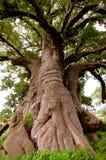 Gigantyczny baobabu drzewo w Senegal, Afryka Obraz Royalty Free