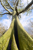 Gigantyczny ceiba drzewo, Ekwador Obraz Royalty Free