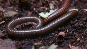 Gigantyczny centipede insekta czołganie wokoło obraz royalty free