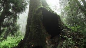 Gigantyczny Cyprysowy drzewo w Alishan Scenicznego terenu lesie z mgłą, mgiełką i mgłą w Tajwan, zdjęcie wideo