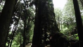 Gigantyczny Cyprysowy drzewo w Alishan Scenicznego terenu lesie z mg??, mgie?k? i mg?? w Tajwan, zdjęcie wideo