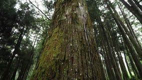 Gigantyczny Cyprysowy drzewo w Alishan Scenicznego terenu lesie z mg??, mgie?k? i mg?? w Tajwan, zbiory wideo