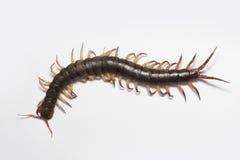 Gigantyczny czerwony Centipede niebezpieczny w ogródzie Zdjęcie Stock