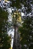 Gigantyczny Czerwony drewno Zdjęcia Stock
