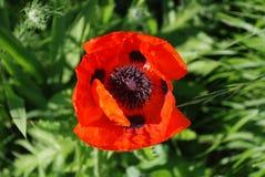 Gigantyczny Czerwony maczek w świetle słonecznym Zdjęcia Royalty Free