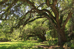 Gigantyczny Dębowy Drzewo zdjęcie stock