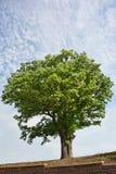 gigantyczny dębowy drzewo Obraz Royalty Free