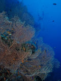 Gigantyczny dennego fan koral Obraz Royalty Free