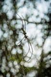 Gigantyczny drewniany pająk lub banana pająk na swój sieci Zdjęcie Royalty Free