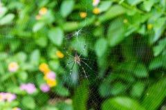 Gigantyczny drewno pająka łasowanie na pajęczynie obraz stock