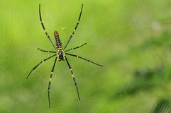 Gigantyczny drewno pająka plecy widok (kobieta) Obrazy Royalty Free