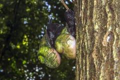 Gigantyczny Drzewny ślimaczek, Acavus feniks, Sinharaja lasu tropikalnego park narodowy, Sinharaja lasu rezerwa, Sri Lanka Fotografia Royalty Free