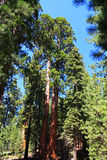 gigantyczny drzewo Fotografia Stock
