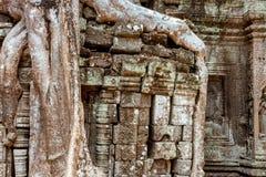 Gigantyczny drzewo i korzenie w świątynnym Ta balu Angkor wacie Zdjęcie Royalty Free
