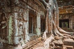 Gigantyczny drzewo i korzenie w świątynnym Ta balu Angkor wacie Obraz Royalty Free