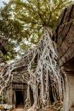 Gigantyczny drzewo i korzenie w świątynnym Ta balu Angkor wacie Obraz Stock