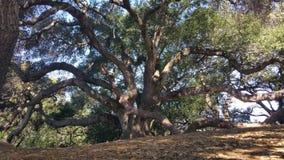 Gigantyczny drzewo przy Westwood wzgórzami Obraz Stock