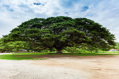 Gigantyczny drzewo; Tajlandia Obrazy Royalty Free