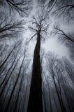 Gigantyczny drzewo w lesie z mgłą na Halloween Obraz Stock