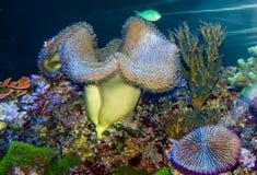 Gigantyczny Dywanowy anemon fotografia royalty free