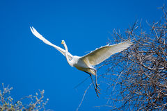 Gigantyczny Egret w locie Zdjęcia Royalty Free