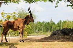 Gigantyczny eland Obrazy Royalty Free