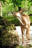 gigantyczny eland rozciąganie Zdjęcia Royalty Free