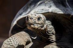 gigantyczny galapagos żółwia Fotografia Stock
