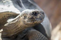 gigantyczny galapagos żółwia Zdjęcia Stock